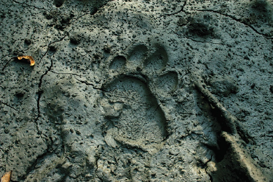 A tiger print in the mud.