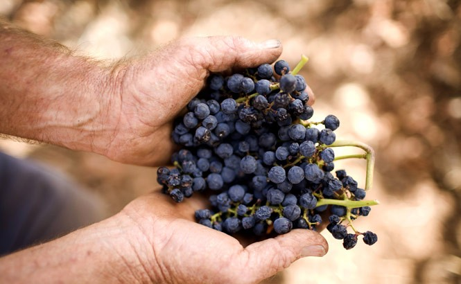Old-vine Shiraz Grapes