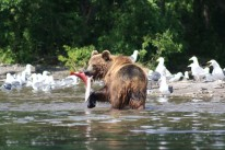a Kamchatka brown bear coming to grips with lunch in Kurilskoye Lake.