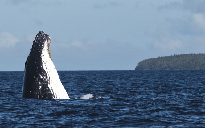 Humpback behavior includes spy-hopping.
