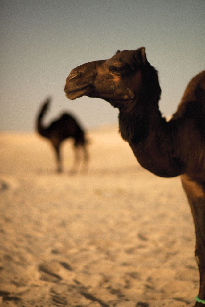 Camels remain a common sight in fast-modernizing Oman.
