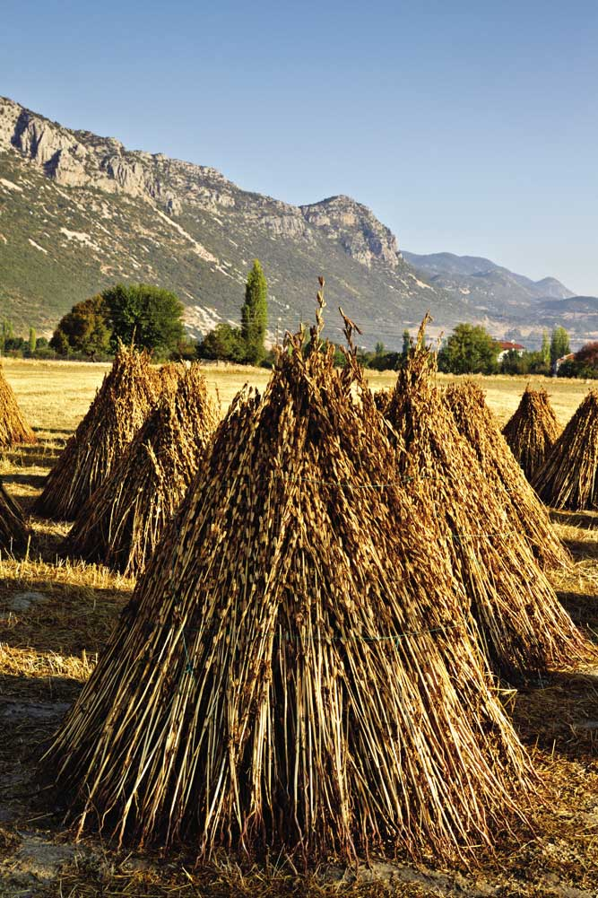 Stacks of sesame drying in the sun in the fields of Bezirgan village.