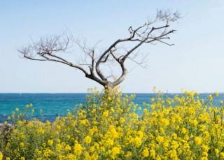 Canola flowers in bloom on Jeju Island in South Korea.