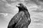 Armed with razor-sharp talons, keen eyesight, and a wingspan of up to two meters, golden eagles are a prefect predator.
