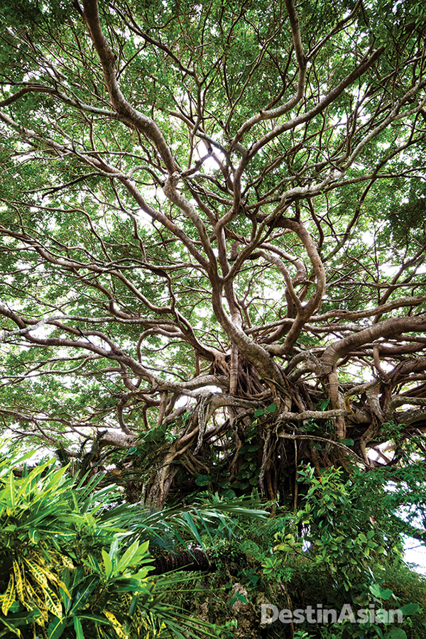Longevity in the Ryukyu Islands extends to this ancient banyan tree on the island of Tokunoshima.