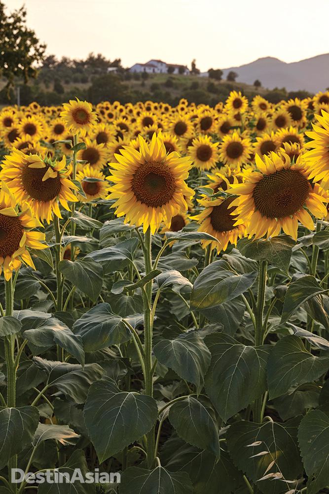 A field of sunflowers near Castiglione della Pescaia.