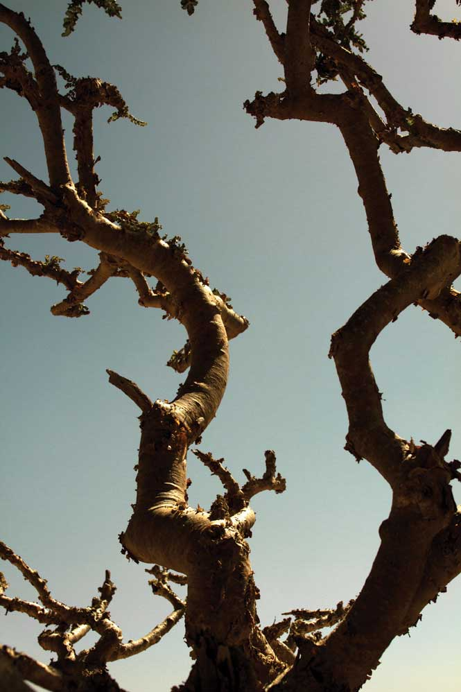 Baobab trees in the Dhofar mountains.