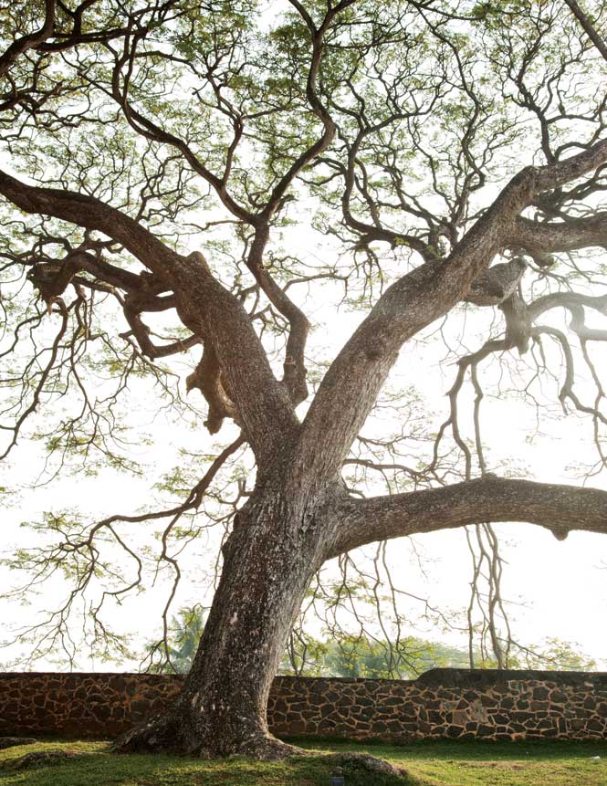 One of four 180-year-old rain trees across the road from the Amangalla hotel on the ramparts of Galle Fort.