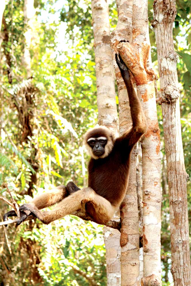 A black-handed gibbon spotted in the trees of Indonesian Borneo's Tanjung Puting National Park.