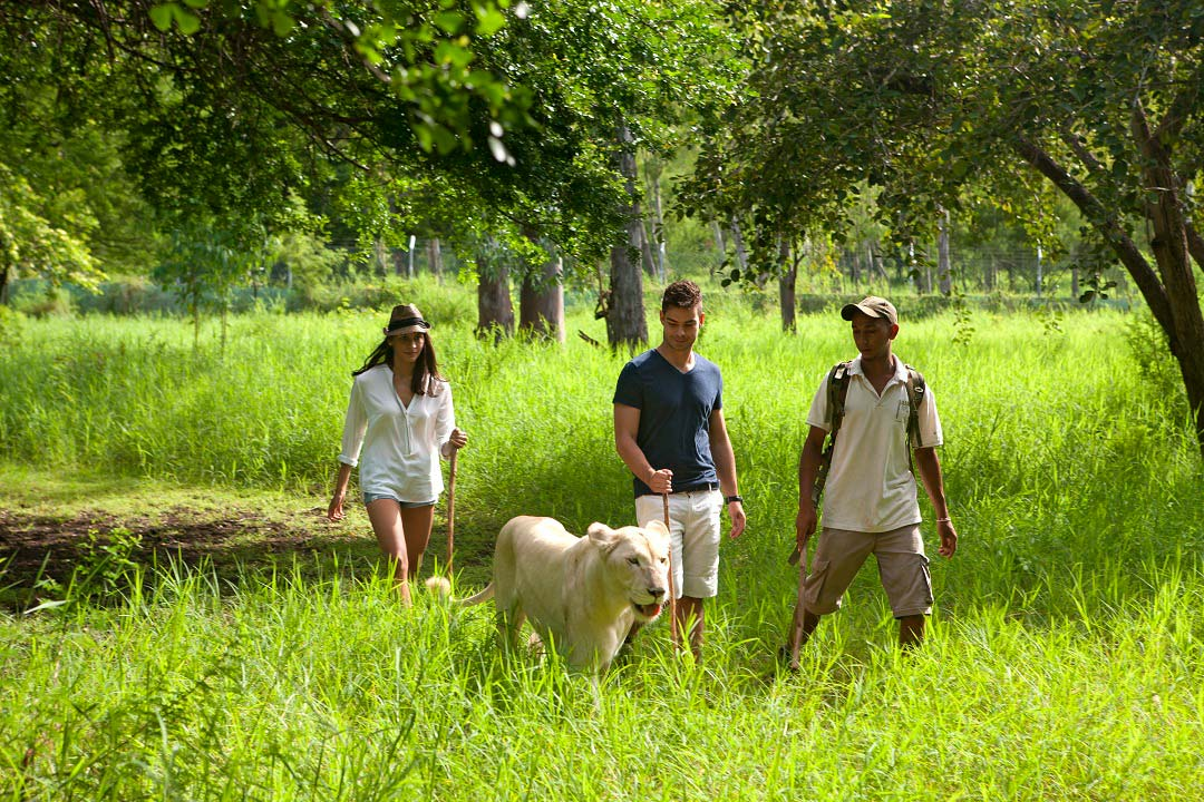 A guided lion walk at Casela Nature & Leisure Park