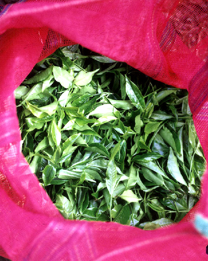 Orange pekoe is among the teas made from leaves handpicked at Glendale Tea Estate outside Coonoor.