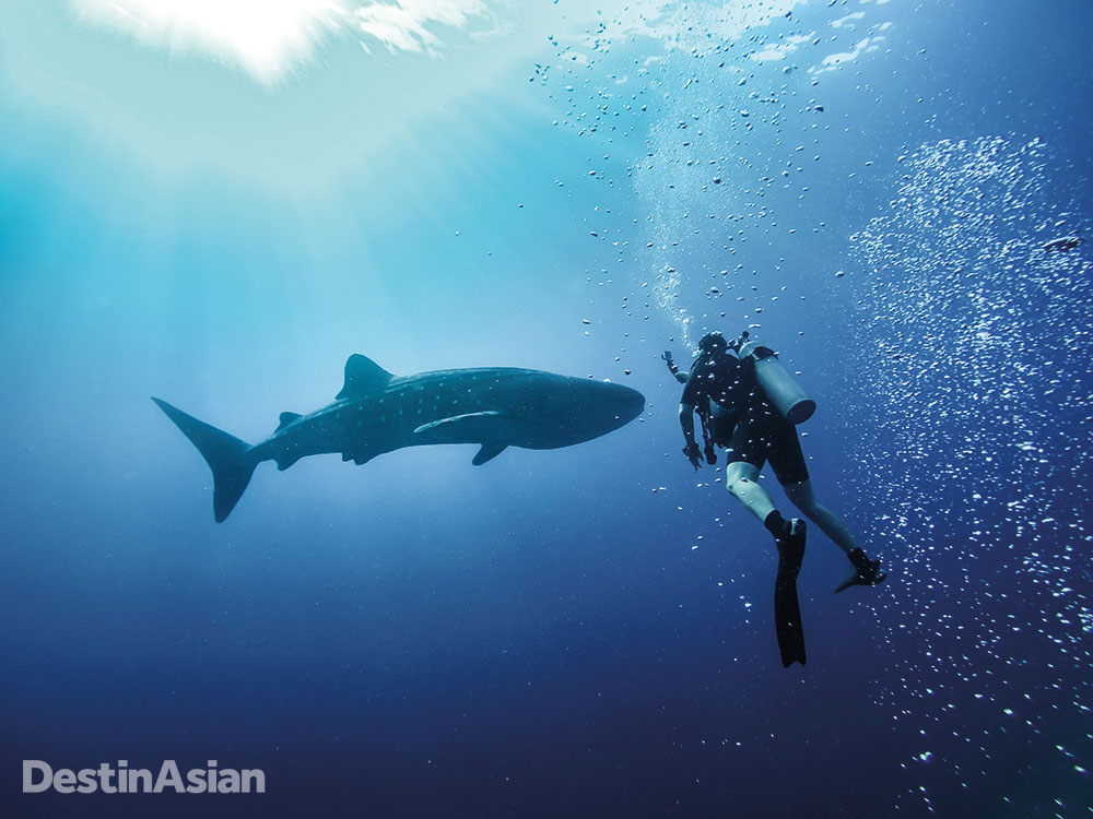Swimming with a whale shark at Tubbataha.