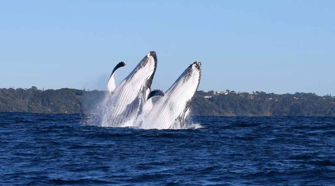 Double breaching whales spotted in Port Macquarie. Photo from the New South Wales tourism board.