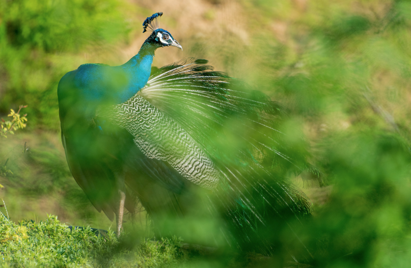 Bathed out in the early morning light, Joseph Anthony captures the magnificent peacock in the wilderness of Sri Lanka.