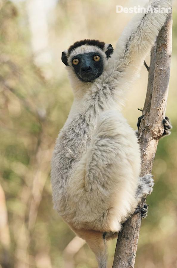 The Verreaux's sifaka is among Madagascar's 100-plus lemur species.