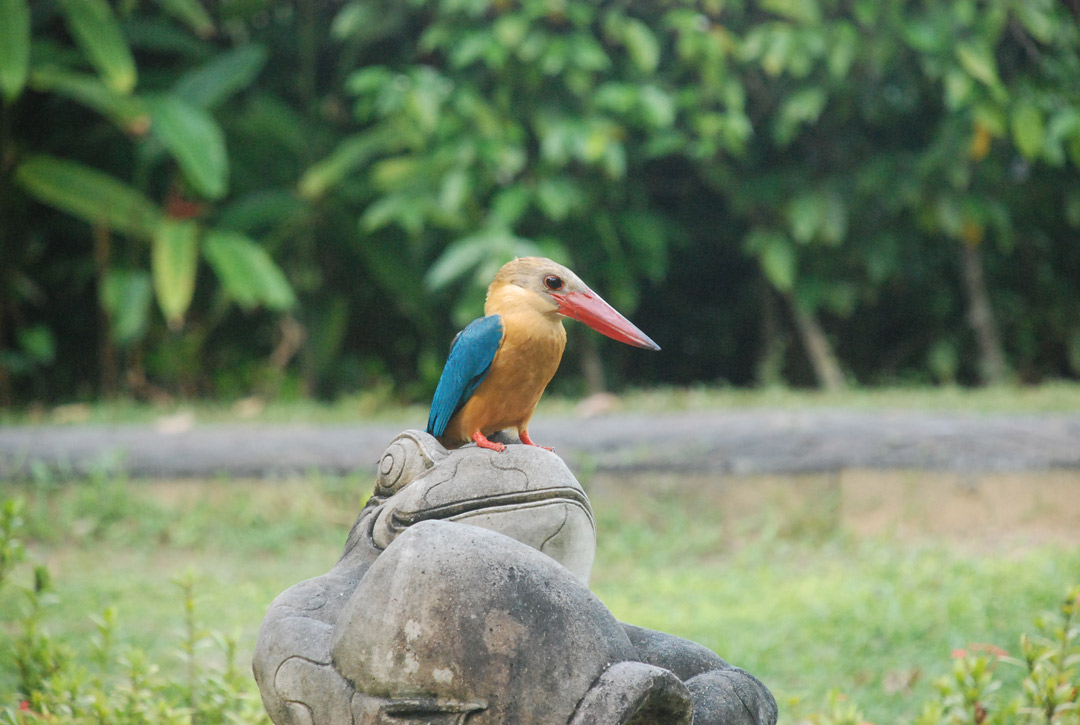 A stork-billed kingfisher.
