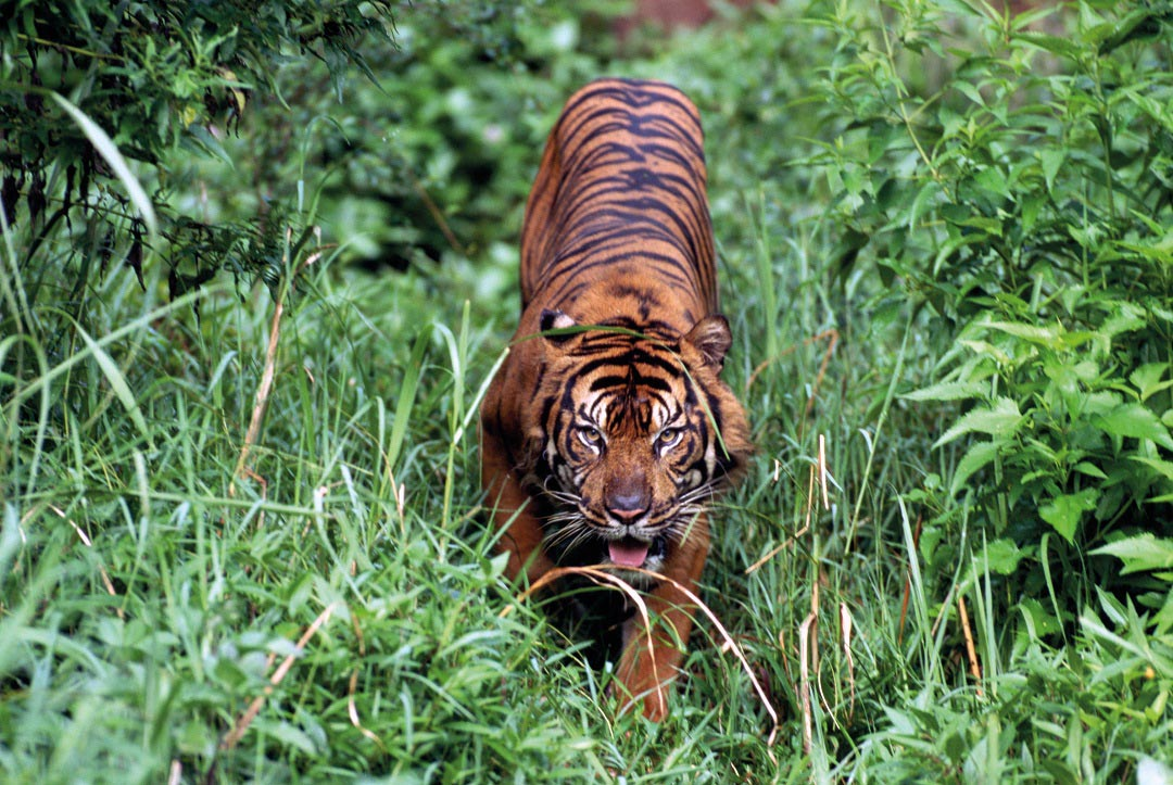Kerinci Seblat is a vital stronghold for the Sumatran tiger.