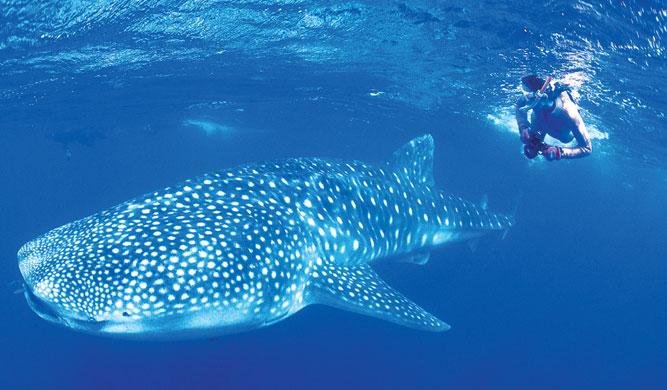 Ningaloo Whale Shark Fest