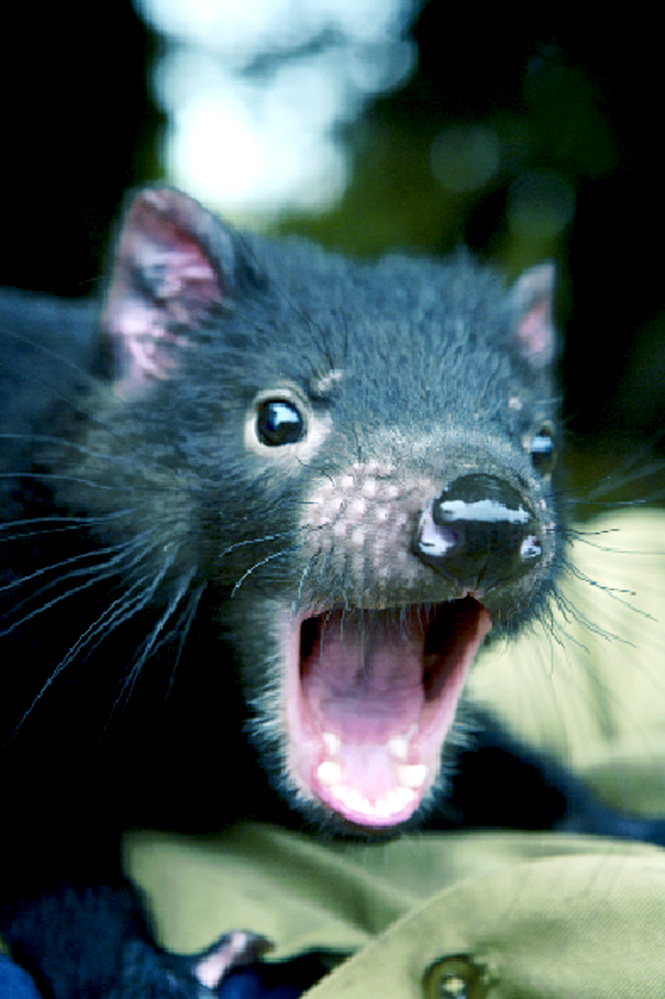 An orphaned Tasmanian devil at a Cradle Mountain sanctuary.