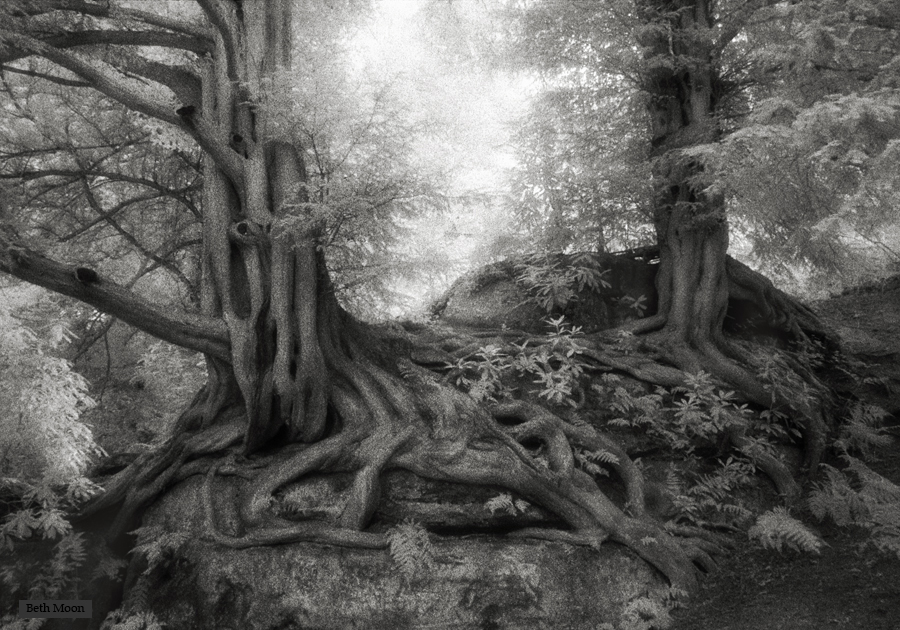 Wakehurst Yews.