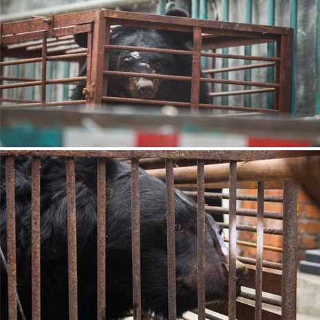 Caged animals rescued from a bile farm. Photo by Peter Yuen