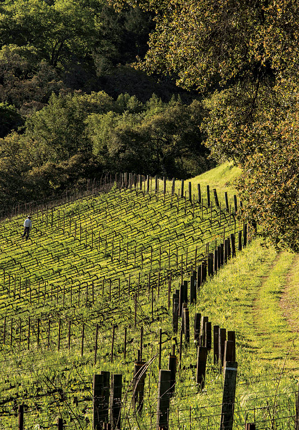 Spring pruning on a hillside vineyard near Oakville, in the heart of the Napa Valley.