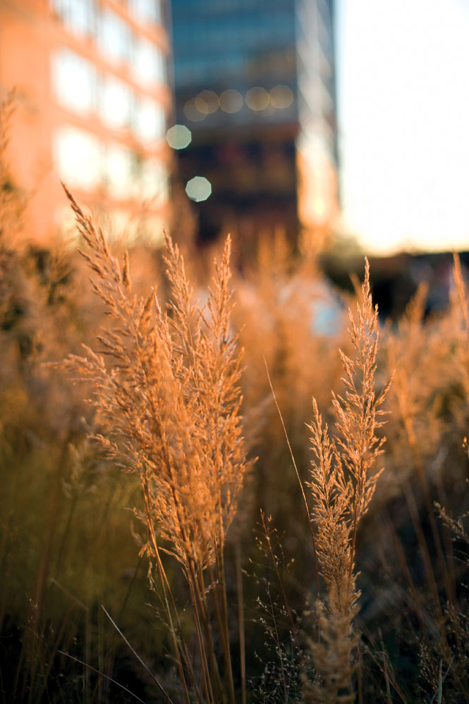 Meadow grasses on the High Line.
