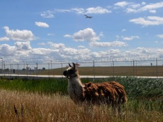 More than 40 four-legged lawnmowers clear vegetation around the airport.