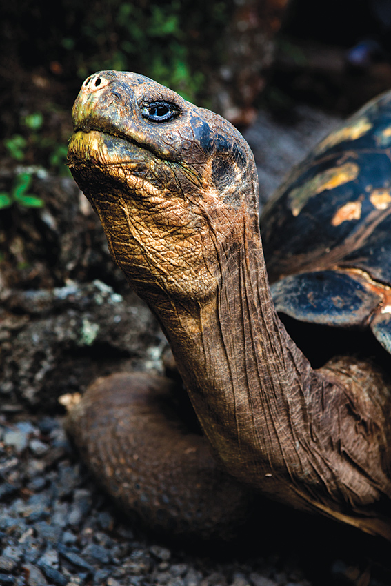 A Galapagos giant tortoise at the Charles Darwin Research Station outside Puerto Ayora.
