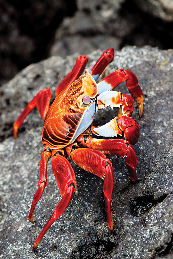A Sally Lightfoot crab foraging for algae on the rock-strewn shores of Mosquera Island.