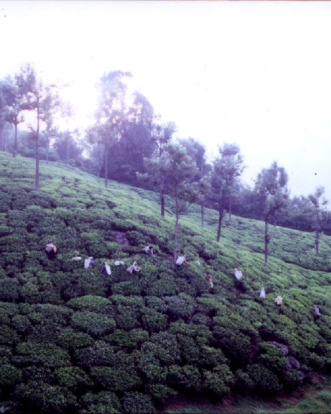 Workers handpicking tea at Glendale's 450-hectare estate.