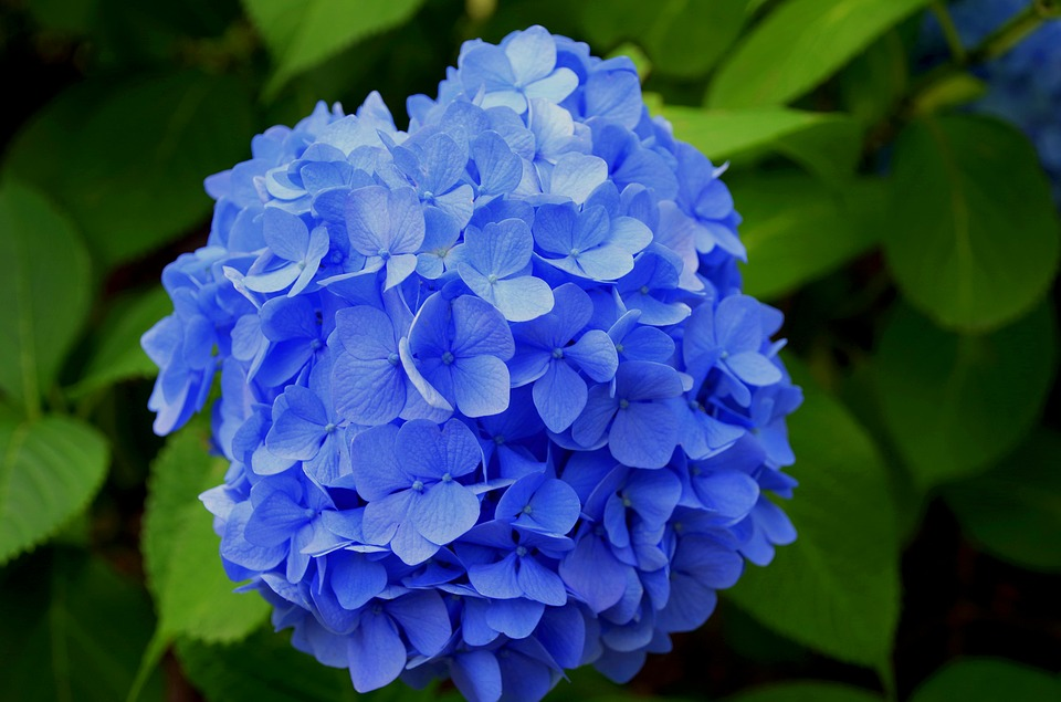 Indulge your eyes in the captivating Ajisai (hydrangeas) flowers