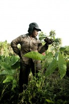 A Palauan woman tending her taro patch.