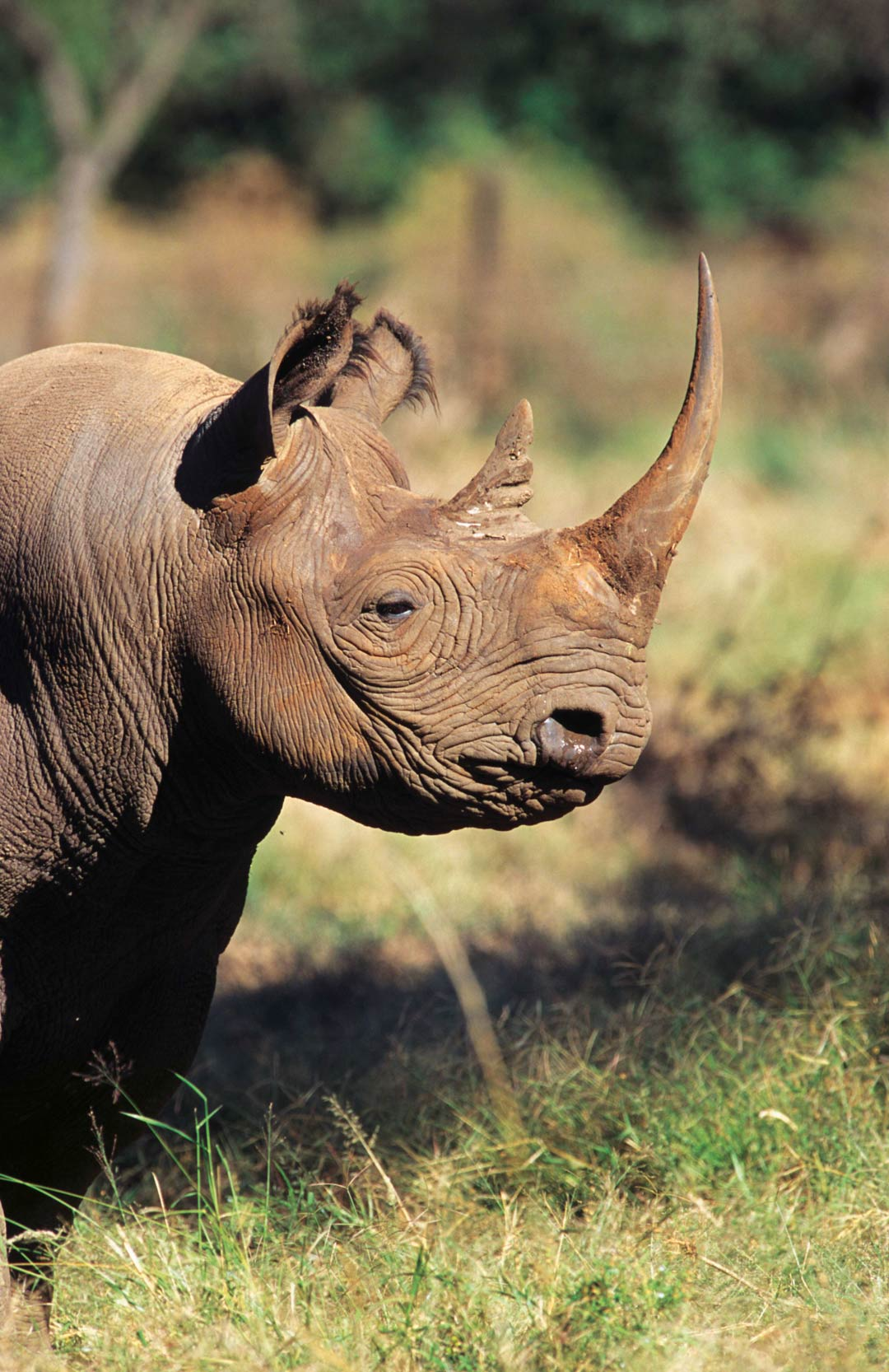 Black rhinos are finding a new lease on life in Kenya.