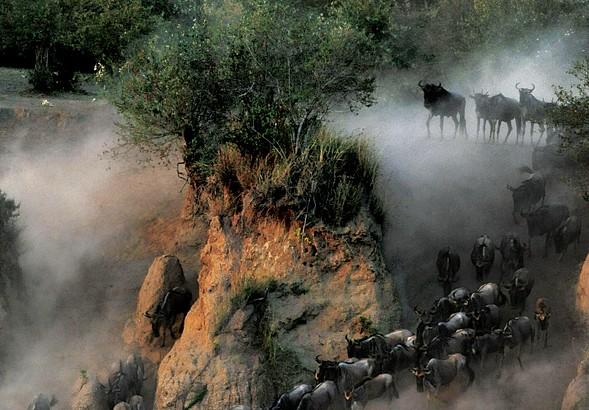 Wildebeests traversing Kenya's Mara River during their annual migration.