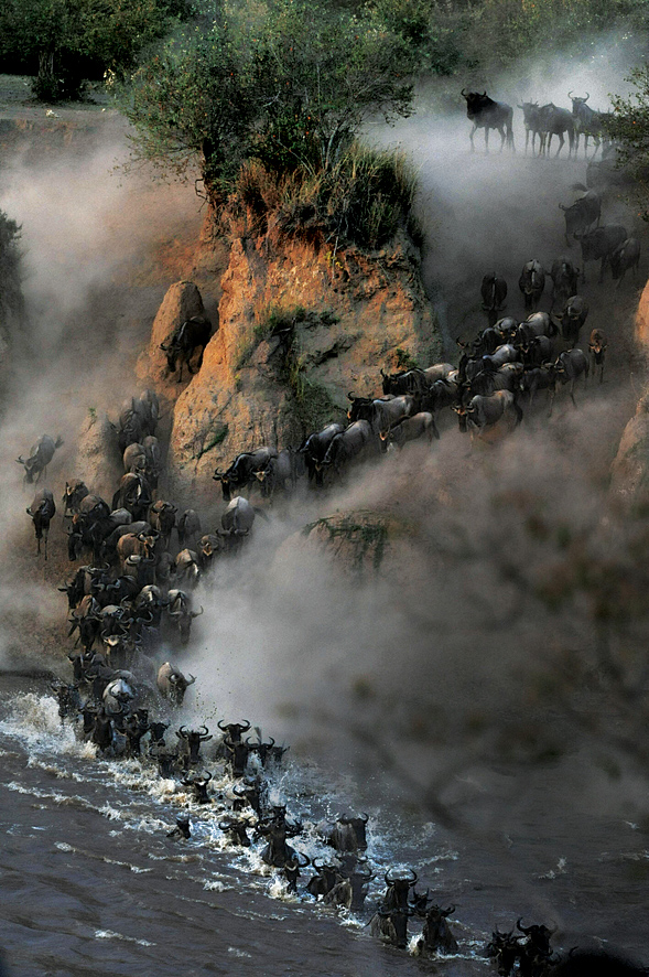 Wildebeests traversing Kenya's Mara River during their annual migration.
