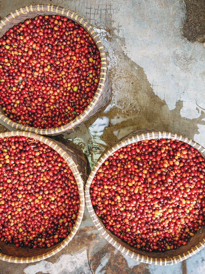 Coffee cherries ready for processing.