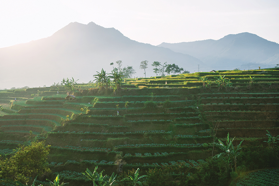 The sun rising over terraced coffee fields in the mountains of Garut regency, West Java.