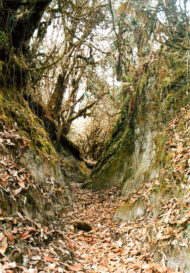 A trail leads through a rhododendron forest.