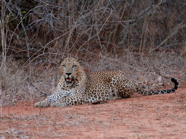 The Sri Lanka leopard is considered endangered and an estimated 55 of the creatures can be seen at Yala. Courtesy of Leopard Safaris.