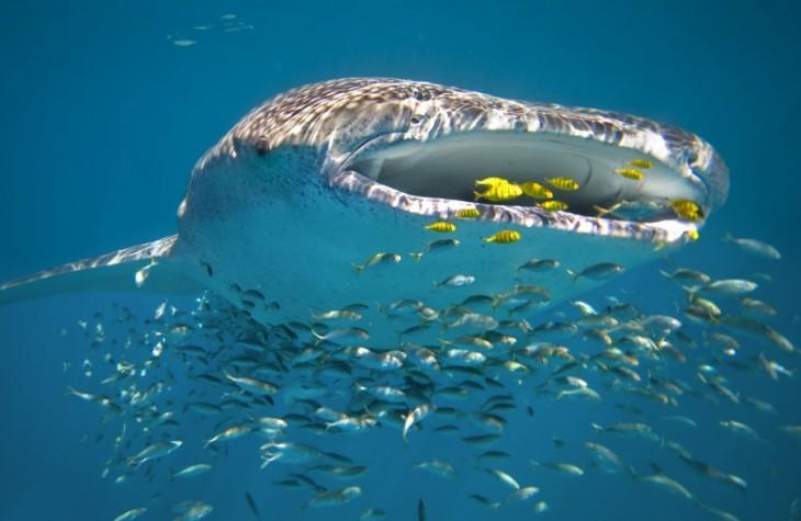 Whale Shark in Ningaloo Reef