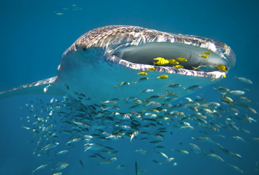 A whale shark swimming in Ningaloo Reef. Photographed by Andy Rouse.