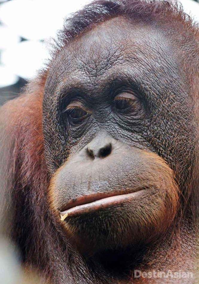 Close encounters with wild orangutans are not recommended, but residents of Matang Wildlife Centre near Kuching, the Sarawak state capital, are considerably more approachable.